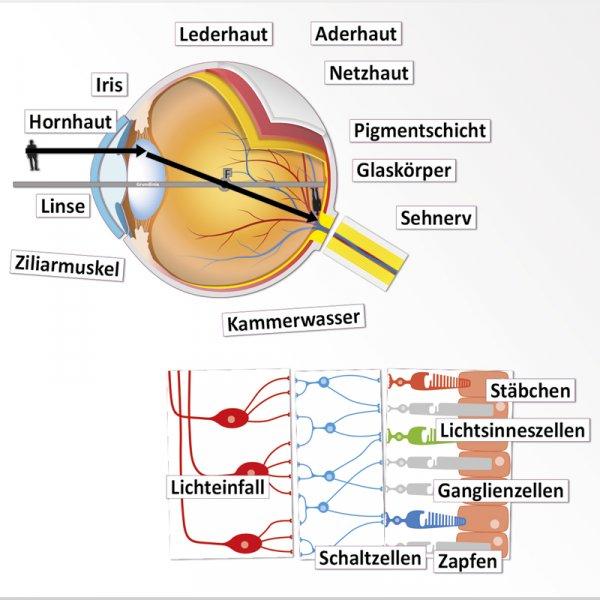 Auge und Sehvorgang, magnetisch, 32-tlg.