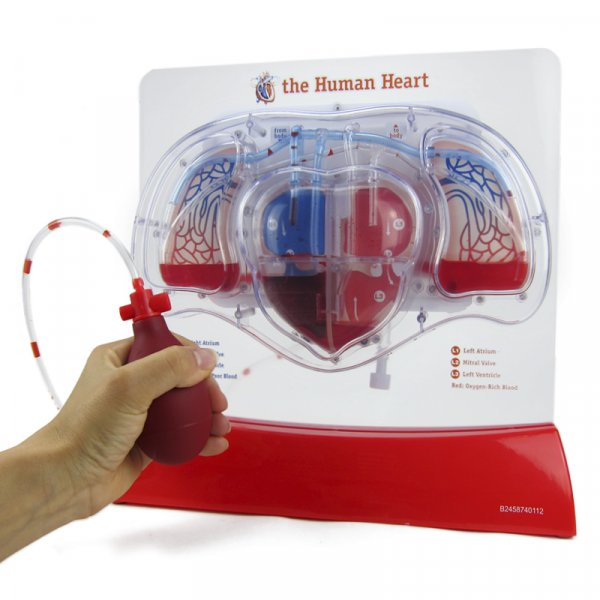 Modell Herz-Kreislauf mit Blutfluss, 28 cm