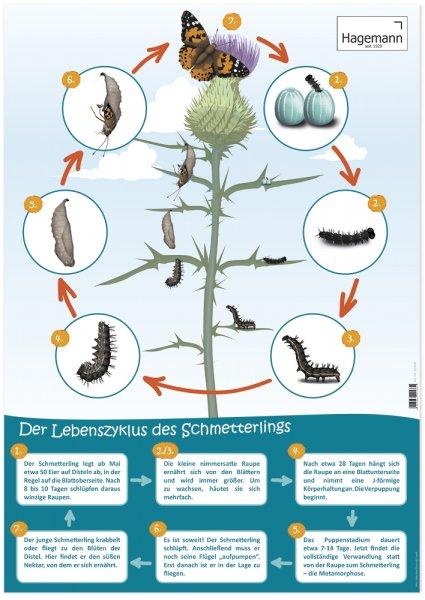Poster Lebenszyklus Schmetterling A2