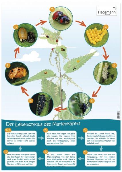 Poster Lebenszyklus Marienkäfer A2