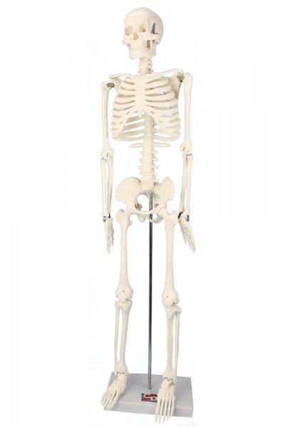 Skelett mit Stativ, 85 cm
