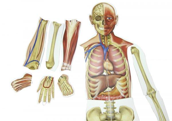 Menschlicher Körper, magnetisch, 17-tlg.